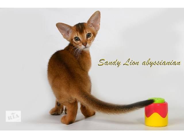 продам Абиссинские котята из питомника Sandy Lion бу в Харькове