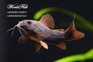 Добавить фото. Акваріумна рибка коридорос венесуела блек b06e7c2a644aa