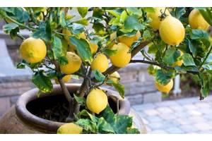 2-3-х летнее дерево лимона