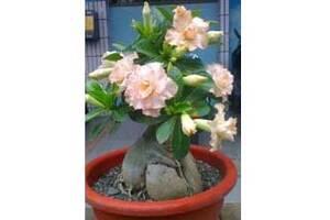 Адениум – роза пустыни - экзотика на вашем подоконнике