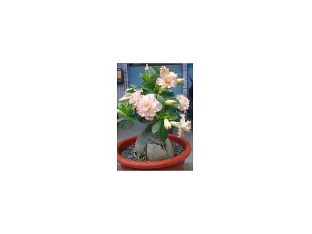 купить бу Адениум – роза пустыни - экзотика на вашем подоконнике в Херсоне