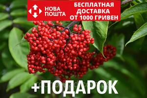 Бузина красная семена (20 шт) обыкновенная или кистистая Sambúcus racemósa +подарок