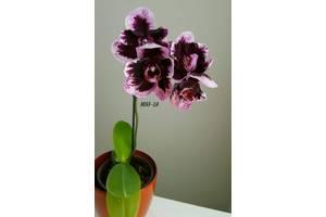 Дитинко орхідеї