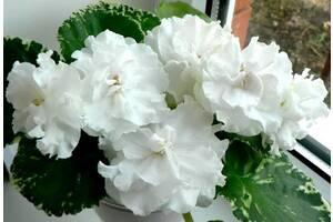 Фиалки сортовые, детка ЛЕ-Белая Камелия - красивые лепестки