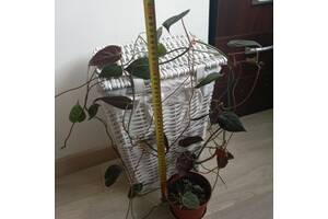 Филодендрон (Philodendron micans) или блестящий