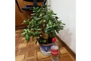 Крассула, денежное дерево. Два экземпляра.