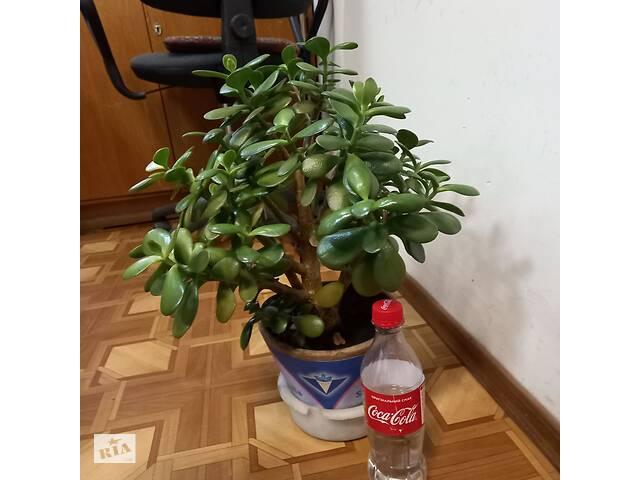бу Крассула, денежное дерево. Два экземпляра. в Одессе