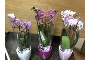 Орхідеї міні в керамічних горщиках