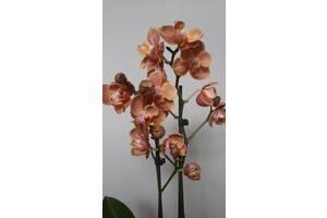 Орхідея бабулетка