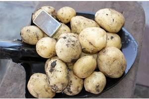 """Продам картофель """"Ривьера"""""""