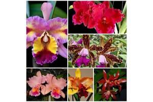 Продам кущики орхідей каттлей