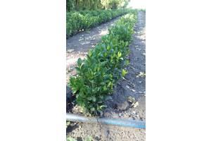 Самшит вечнозеленый Буксус Опт 2000 шт 25-30 см