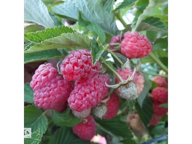 Саженцы малинового дерева Таруса- объявление о продаже  в Мелитополе