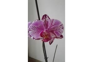 Сортовая орхидея OX Firebird
