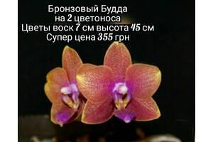 Цветущие орхидеи в наличии и под заказ