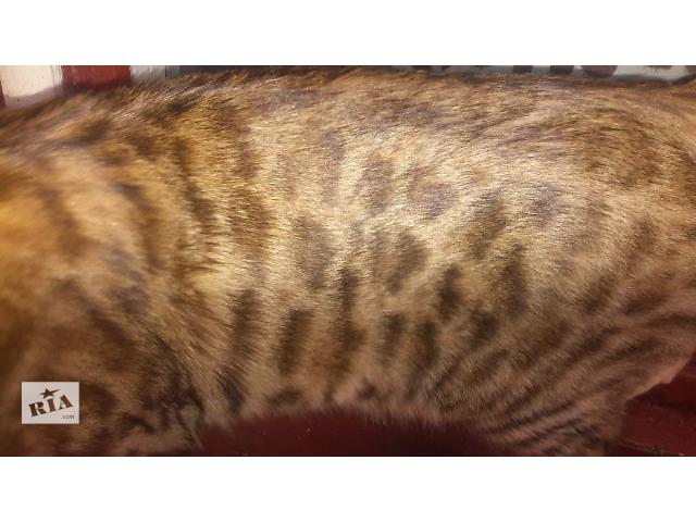 продам Підрощений бенгальский котик з документами бу в Тернополе