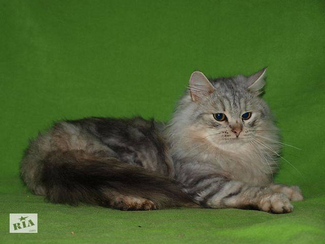 Элитные сибирские котята- объявление о продаже  в Николаеве
