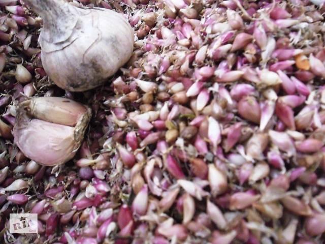 Чеснок продам Семена чеснока воздушка- объявление о продаже  в Умани