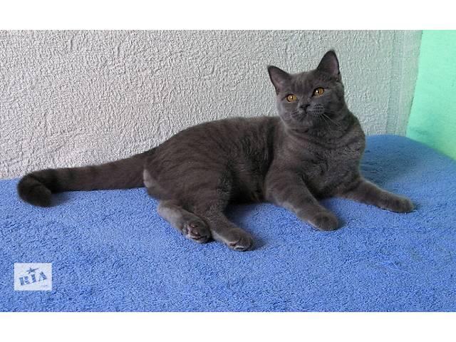 продам Чудесный британский котенок-подросток в роскошном классическом окрасе бу в Киеве