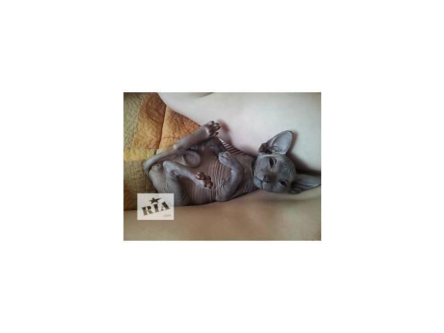 купить бу Элитные котята донского сфинкса в Киеве