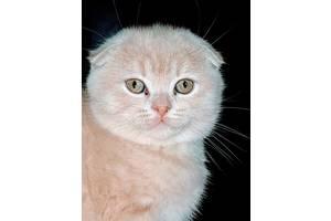 Кремовые шотландские котята
