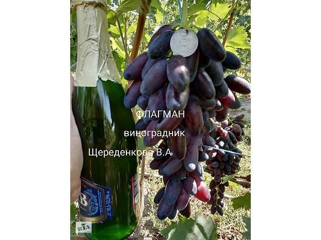 бу Саженцы новейших сортов винограда: Мария,Казанова и др. в Днепрорудном