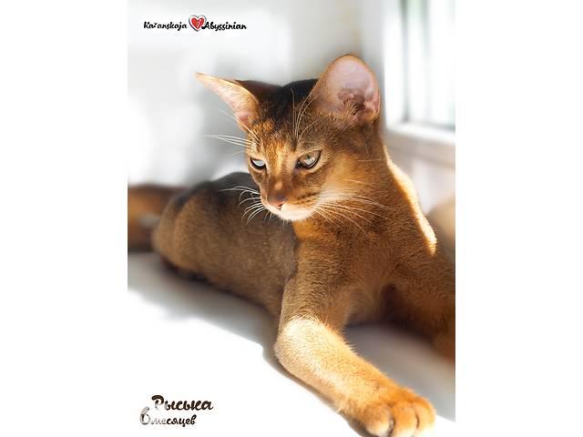 продам Абиссинская кошка (котята) бу в Києві