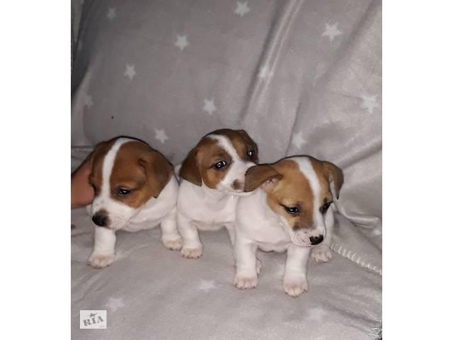 Продажа щенков Джек Рассел- объявление о продаже  в Белой Церкви