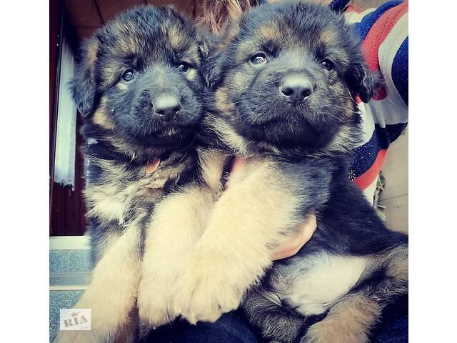 продам Продам щенков немецкой овчарки бу в Львове