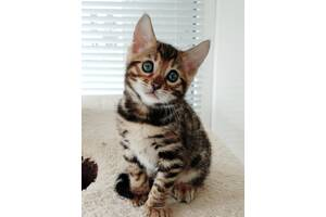Бенгальская кошка бенгал