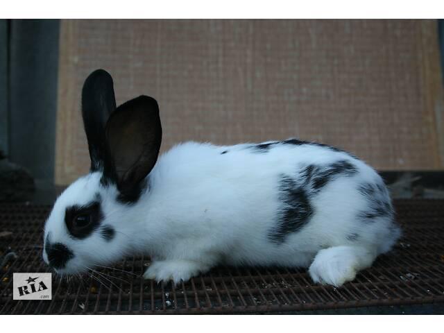 продам Кролики немецкий строкач бу в Полтаві