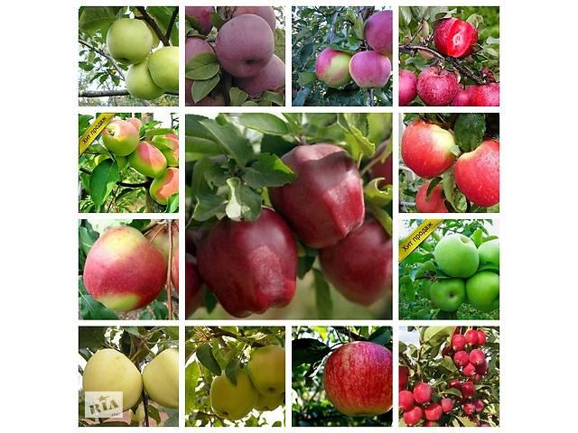 купить бу Саженцы яблони  высокое качество более 80 сортов на среднерослом подвое. Высылаем почтой. в Бахмуте (Артемовск)