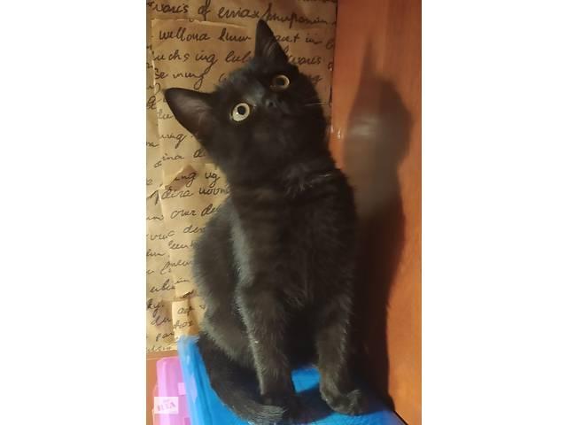 продам Продам шотландського котика бу в Тернополе