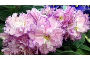 Фіалки Київ, дитинко сорт РС-Гранд Готель - величезні красиві квіти
