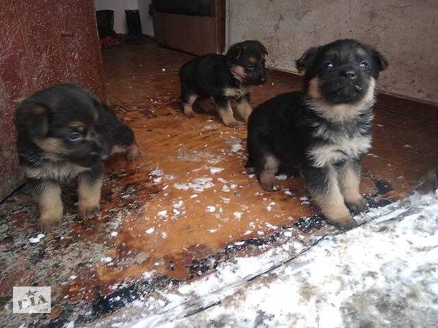 Продам щенят Німецька вівчарка дівчата. - объявление о продаже  в Виннице