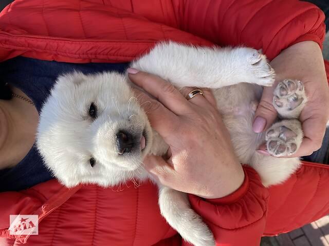 бу Элитный щенок алабай, среднеазиатская овчарка (САО) в Кропивницком (Кировоград)