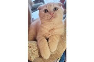 Нежные  кремовые вислоухие шотландские котята ищут свои семьи!
