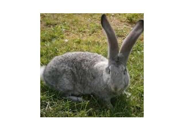 продам Кролики фландр бу в Херсоне