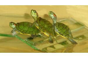 Красноухие черепахи! Доставка по Киеву!