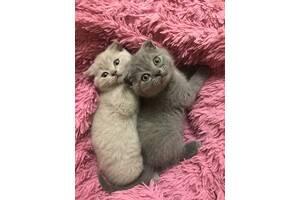 Шотландські плюшеві висловухі котята