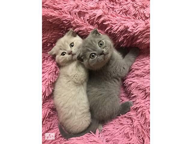 Шотландські плюшеві висловухі котята- объявление о продаже  в Киеве