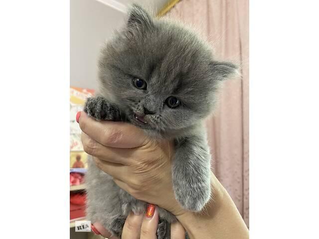 Котята скоттиш страйт / шотландские котята - объявление о продаже  в Одессе