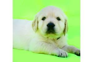 Супервидео) Очаровательные щенки золотистого голден ретривера от топ-производителей.