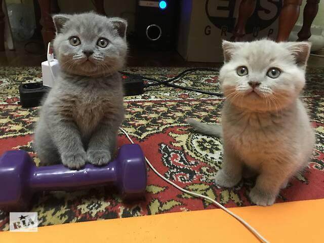 купить бу Шотландські плюшеві висловухі котята (Київ) в Києві