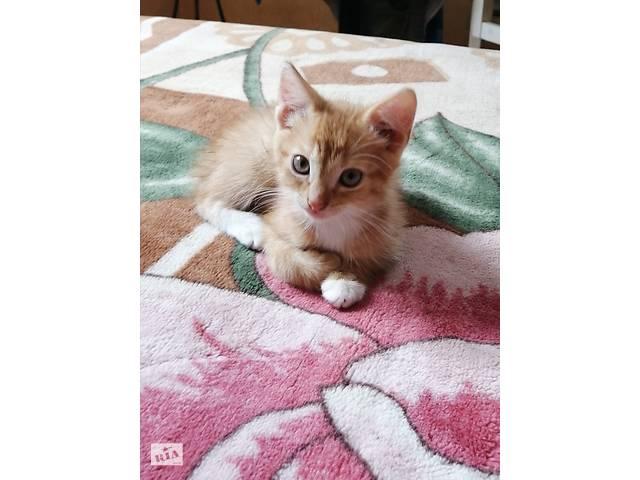 Рижі пухнасті котенята, домашні- объявление о продаже  в Києві