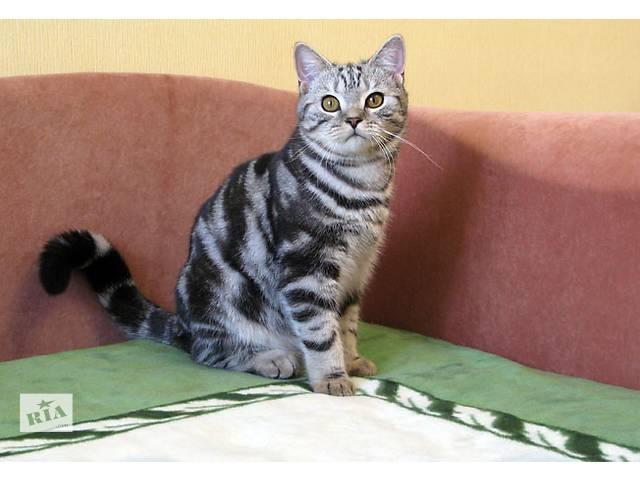 IVAR Британский котик- объявление о продаже  в Запорожье