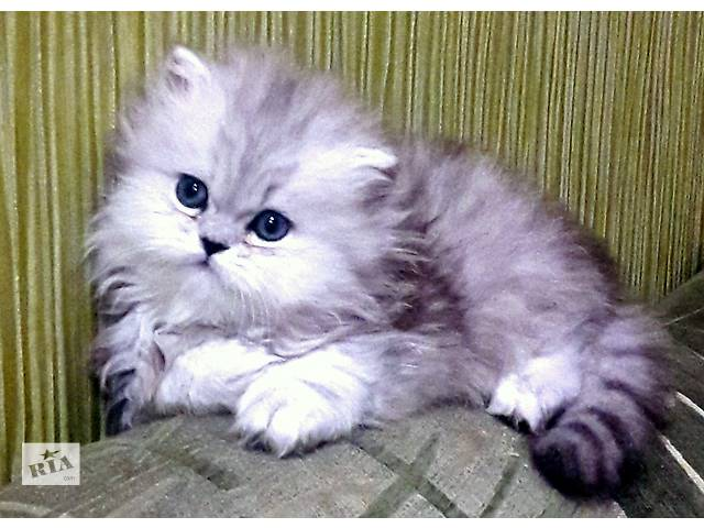 бу   Клубные, персидские котята  серебристые- шиншиллы (бронь) в Запорожье