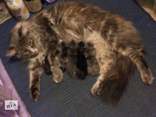 Элитные котята мейн-кун - дешевле не найти!!- объявление о продаже  в Киеве