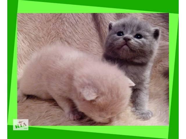 Котята британские. Удовольствие - гарантировано!- объявление о продаже  в Днепре (Днепропетровск)