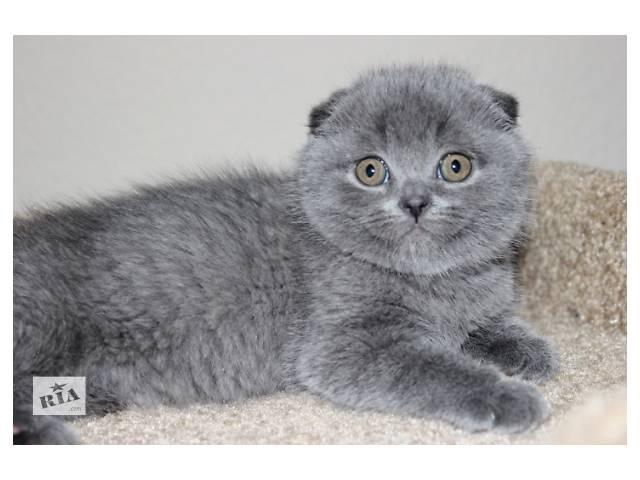 Лучший подарок шотландский котенок- объявление о продаже  в Харькове